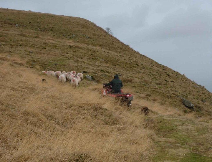 Shepard with working dogs top of the Darren Mountain above Dare Valley
